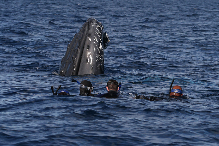 Swim with Humpback Whales
